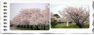 Sakura3web