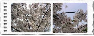 Sakura4web