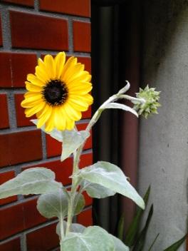 ♪季節外れの向日葵♪